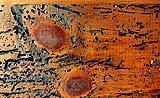 Legno con fori di sfarfallamento e gallerie prodotte da tarli