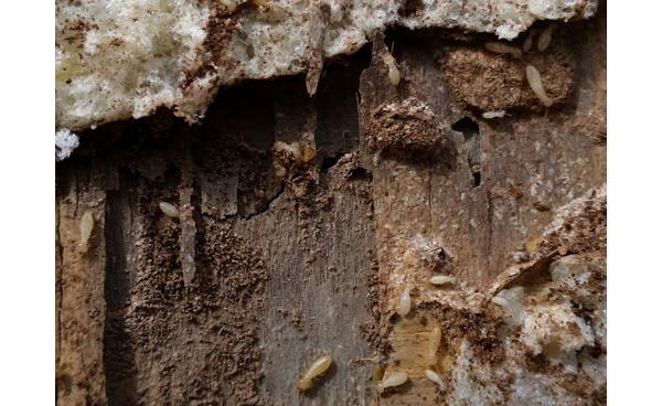 Larve di tarlo su un legno gravemente infestato