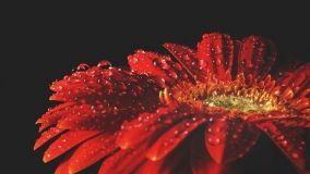 Gerbera: coltivazione e cure