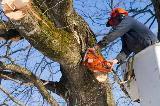 Potatura di albero