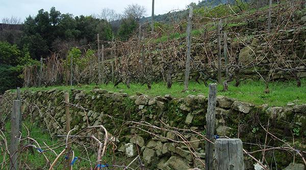 Coltivazioni terrazzate sostenute da muri a secco a Dolceacqua in Liguria