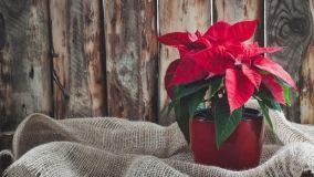 Piante da regalare per Natale