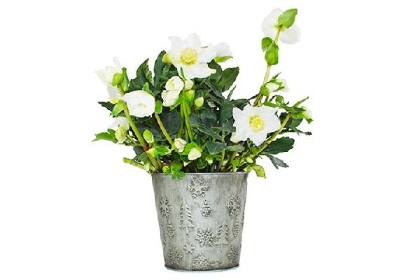 Rosa di Natale Flob in vaso latta