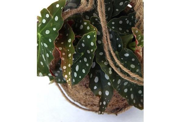 Begonia maculata in vaso di Cocco Flob
