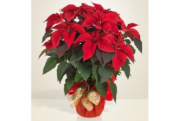 Stella di Natale rossa Interflora
