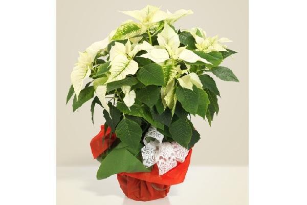 Stella di Natale bianca Interflora