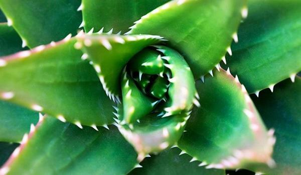 Foglie di Aloe Vera da everydayhealth.com