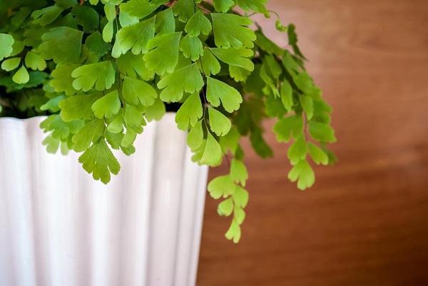 Tra le piante verdi c'è la Capelvenere, da inran.it