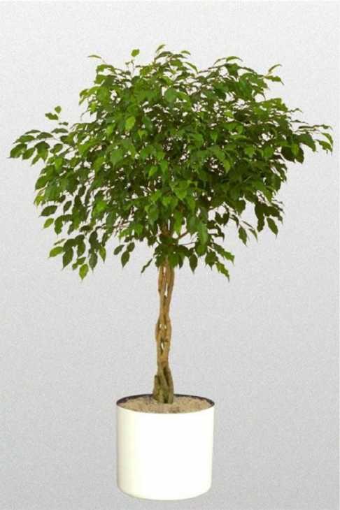 Tra le piante consigliate c'è il Ficus benjamina, da Etsy
