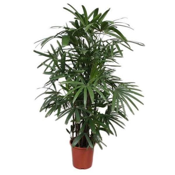Una pianta da interni à la Rhapis excelsa, da florastore.com