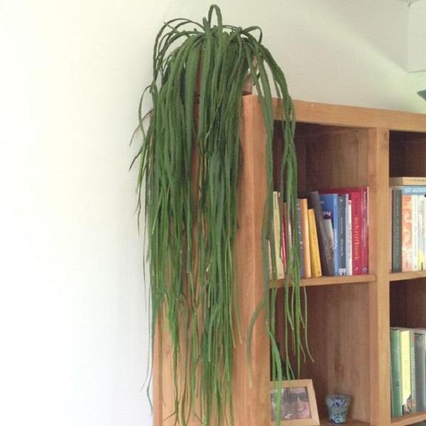 Tra le piante spicca il Lepismium bolivianum, da sunnyplants.com