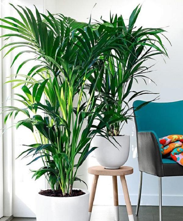 La Kentia è una bella pianta da interni, da bakker.com