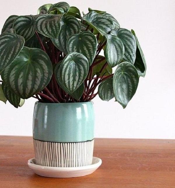 Una pianta da casa è la Peperomia sandersii, da casavogue.globo.com