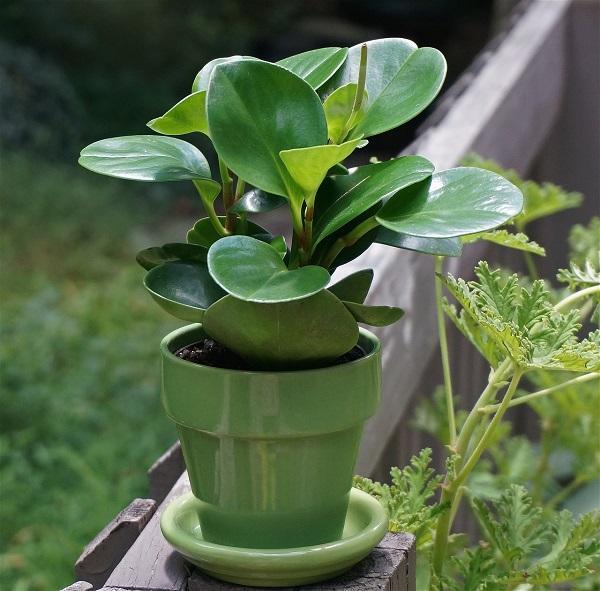 La Peperomia, pianta da interni per il living