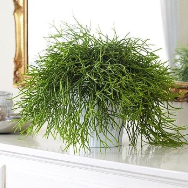 Tra le piante ideali c'è la Rhipsalis, da crocus.co.uk