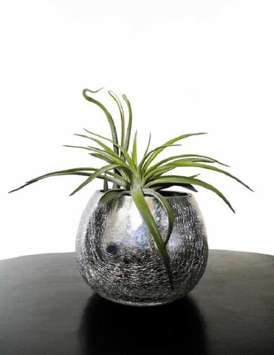 La Tillandsia è una pianta da interni decorativa