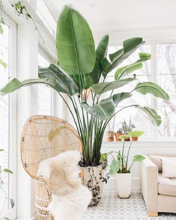 La pianta di Banano, da laurenconrad.com