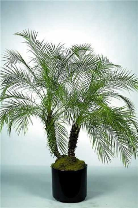 La palma da datteri nana, da interiorfoliage.com