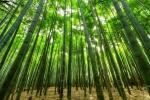 La pianta dil bambù ha un alto tasso di rinnovabilità