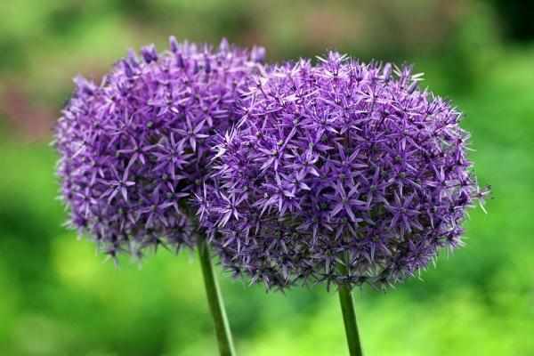 Aglio: il fiore