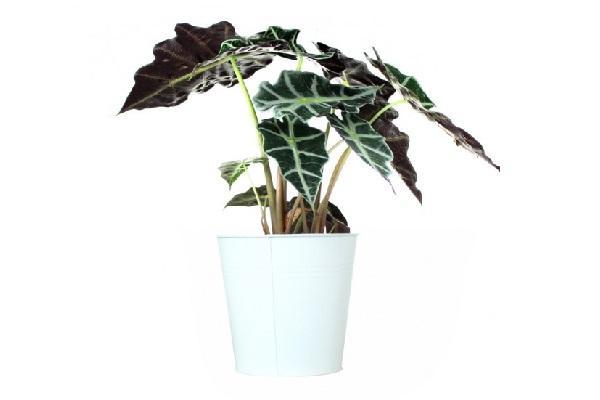 Regalare una pianta a San Valentino: Alocasia di Flobflower