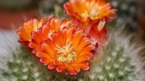 Cactus: verde e benefici, come coltivarli in vaso dentro casa