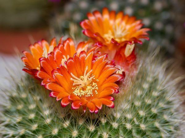 Cactus da appartamento fioriti