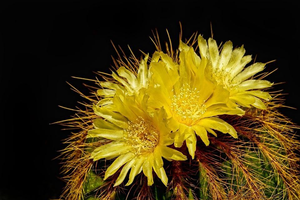 Cactus fioriti