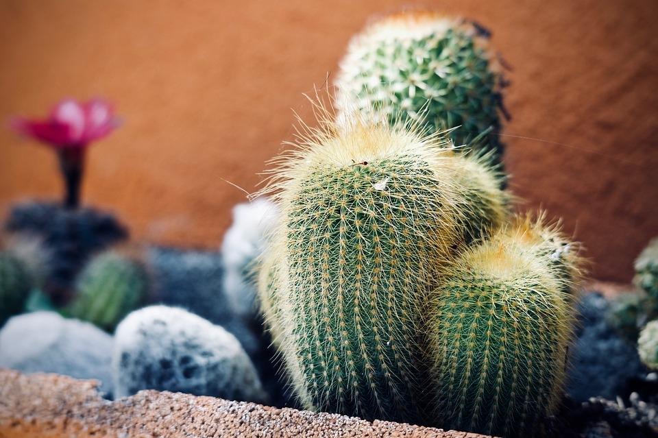 Cactus ornamentali da appartamento