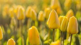 Consigli per la coltivazione dei bulbi fioriti
