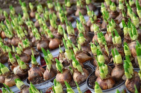 Coltivazione dei bulbi fioriti