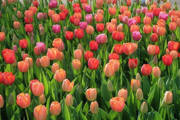Cura e coltivazione del tulipano