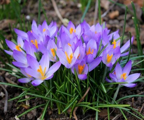 Bulbi fioriti croco