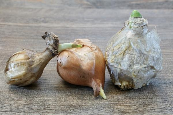 Bulbi da piantare