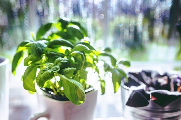 Preparazione orto: piante aromatiche contro gli insetti