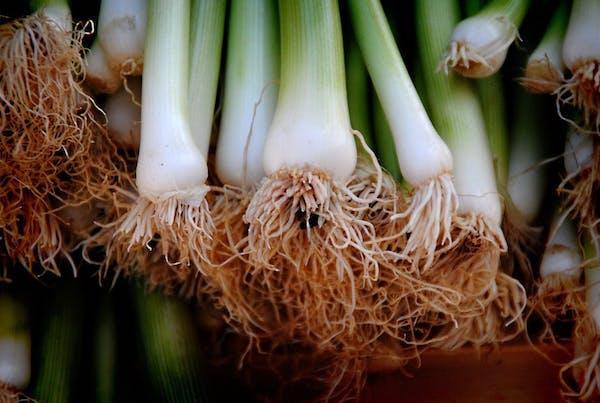 Preparazione orto: i cipollotti
