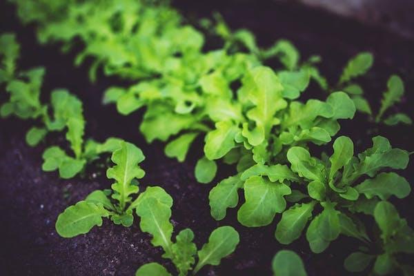 Preparazione orto: l'insalata