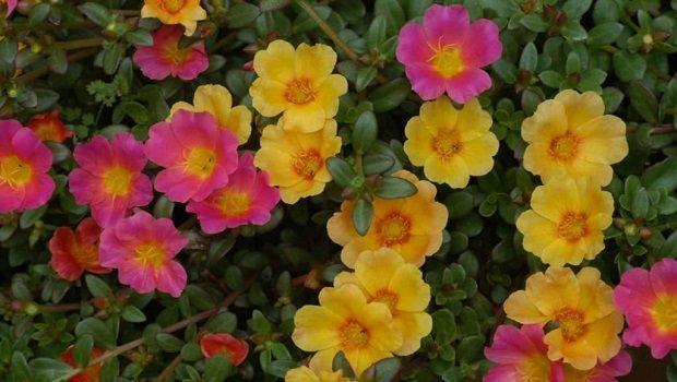Portulaca perenne e annuale: coltivazione e proprietà