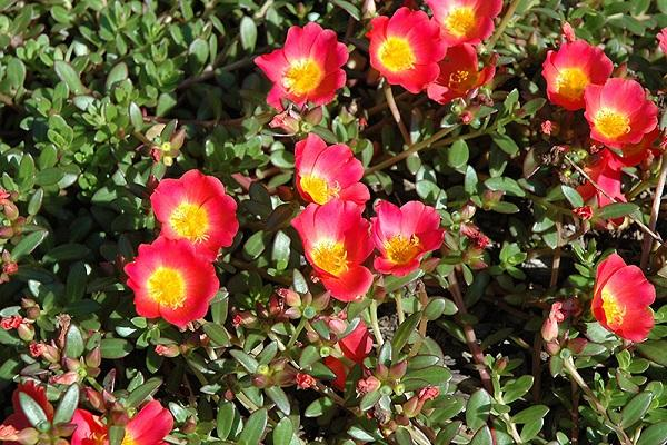 Portulaca perenne da plants.satellitegardens.ca
