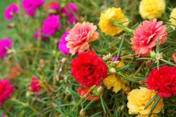 Varietà di Portulaca da rose.gardenia.net
