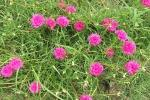 Cespuglio di Portulaca perenne da gardeningpakistan.com