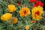 Portulaca perenne gialla da plants.gardenworks.ca
