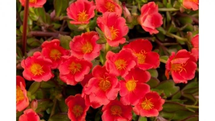 Red Portulaca da qualitycuttings.com