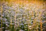 Camomilla: coltivazione nel giardino dei semplici
