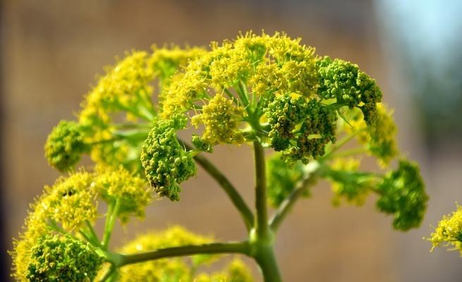 Giardino dei semplici: finocchio in fiore