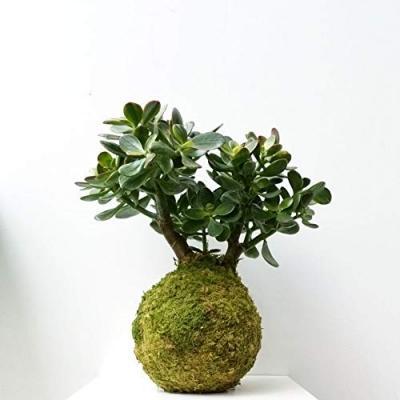 Giardino sospeso con i kokedama in vendita su Amazon