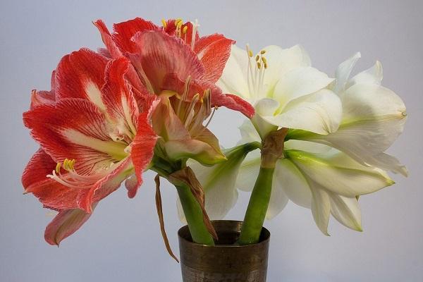 L'Amaryllis è una delle piante tossiche per gatti