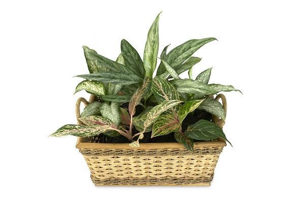 La Dieffenbachia è tra le piante tossiche per gatti