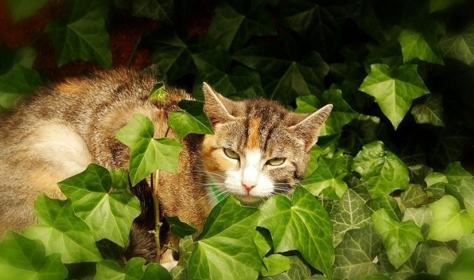 Anche l'Edera è una delle piante tossiche per gatti