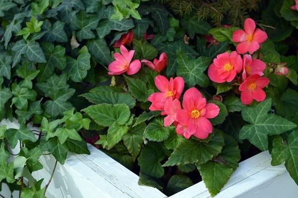 Begonia, pianta amata dagli appassionati di home gardening